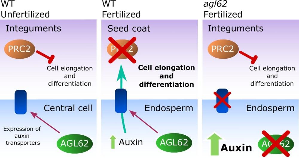 medium resolution of model for the post fertilization mechanism driving seed coat development
