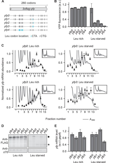 small resolution of effect of ribosome stalling on measured protein level mrna level and polysome occupancy