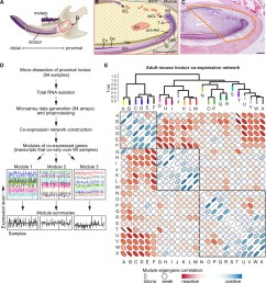 analysis of transcriptional co variation in adult mouse incisor reveals gene co expression modules  [ 1394 x 1500 Pixel ]