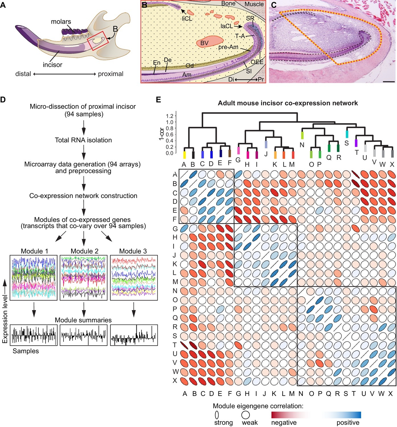 hight resolution of analysis of transcriptional co variation in adult mouse incisor reveals gene co expression modules