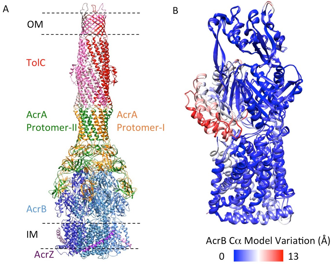 An allosteric transport mechanism for the AcrABTolC