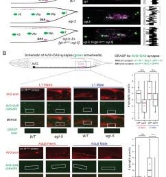 egl 5 abd b hox9 hox13 affects synaptic wiring of the da9 neurons  [ 1093 x 1500 Pixel ]