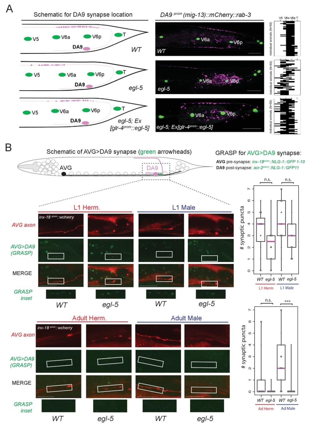 medium resolution of egl 5 abd b hox9 hox13 affects synaptic wiring of the da9 neurons