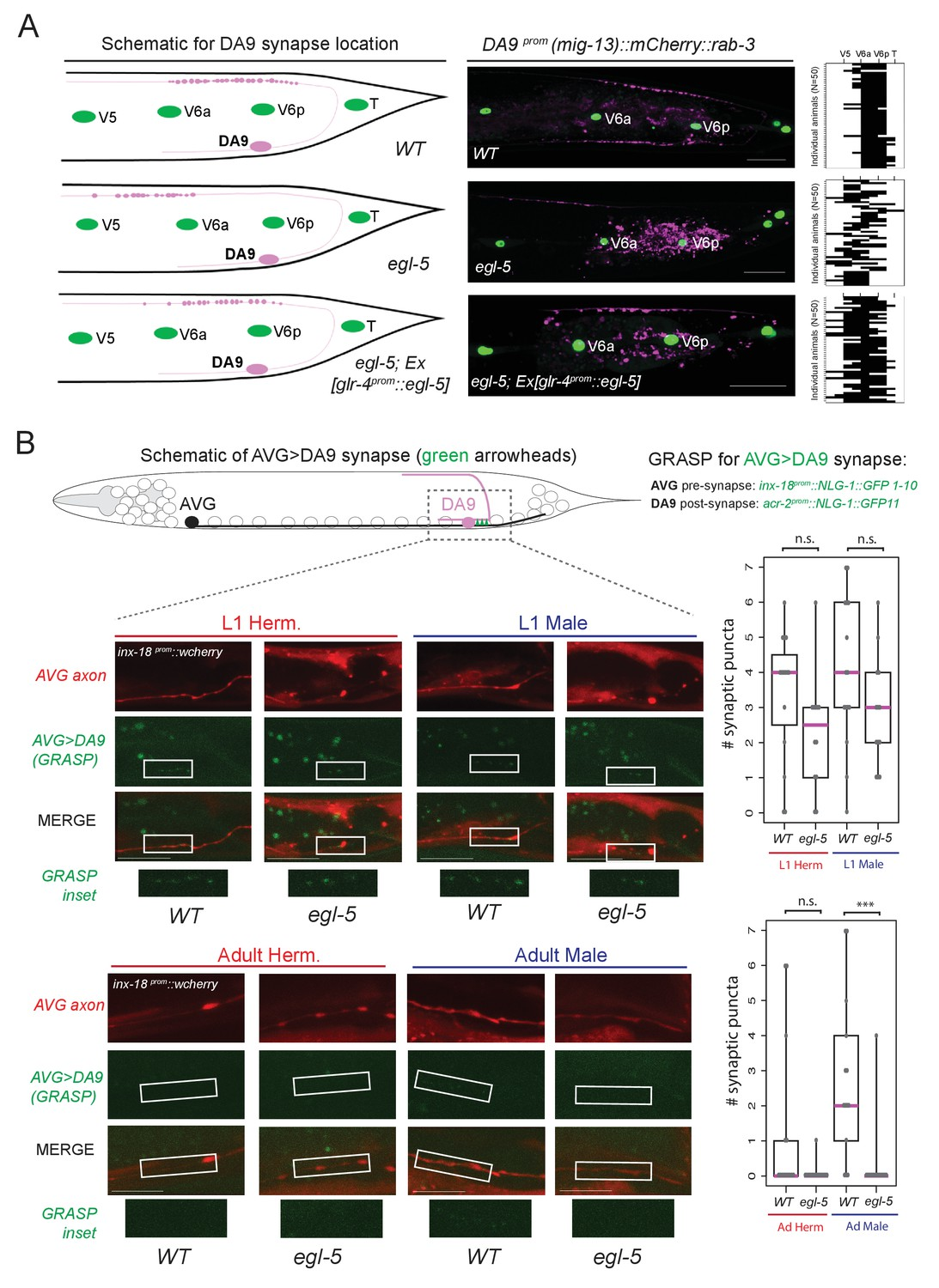 hight resolution of egl 5 abd b hox9 hox13 affects synaptic wiring of the da9 neurons