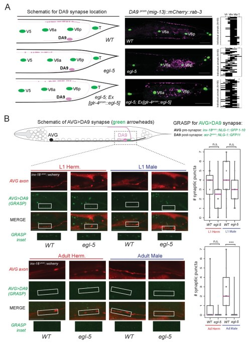 small resolution of egl 5 abd b hox9 hox13 affects synaptic wiring of the da9 neurons
