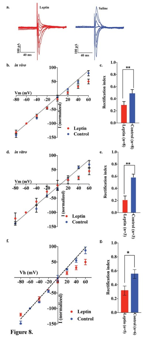 small resolution of leptin reversed the elimination of ampar rectification in pomc neurons in fasted mice