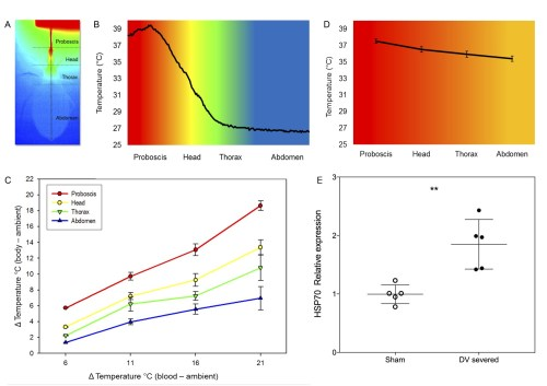 small resolution of heterothermy and hsp synthesis associated to feeding in kissing bugs