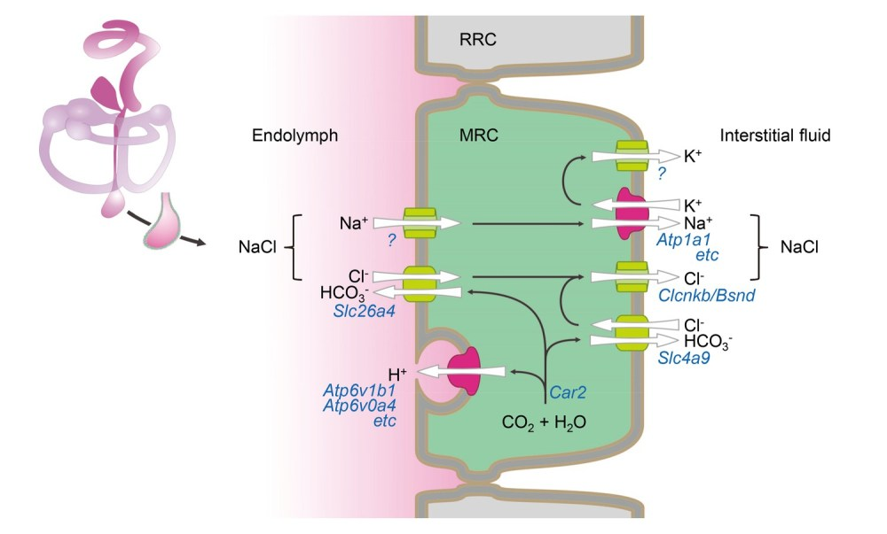 medium resolution of hypothetical model of nacl absorption by mitochondria rich cells of the endolymphatic sac