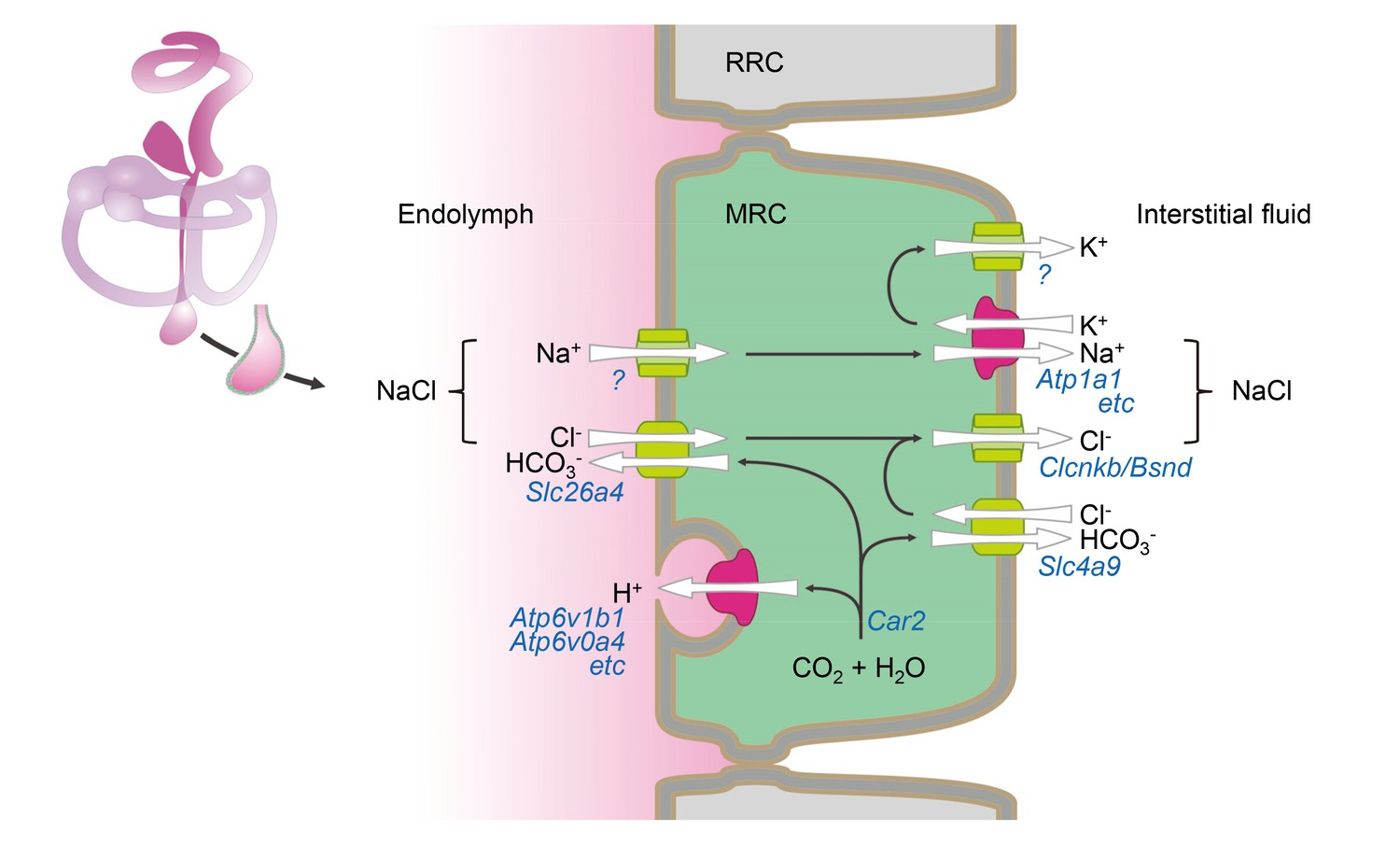 hight resolution of hypothetical model of nacl absorption by mitochondria rich cells of the endolymphatic sac