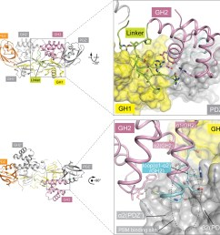 autoinhibitory interactions mediated by the linker gh2 domains in the apo gipc1 structure  [ 1500 x 1480 Pixel ]