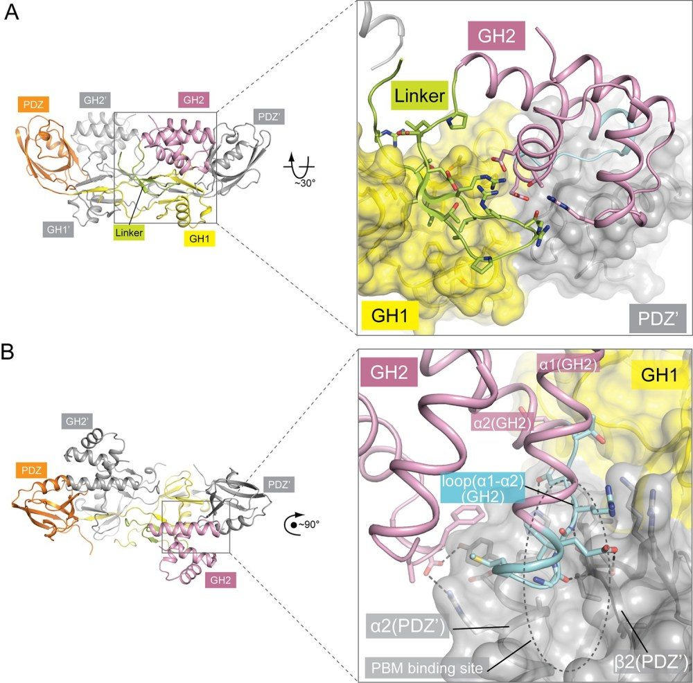 medium resolution of autoinhibitory interactions mediated by the linker gh2 domains in the apo gipc1 structure