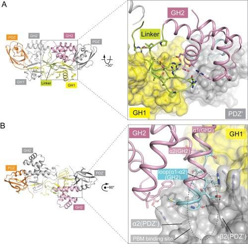 small resolution of autoinhibitory interactions mediated by the linker gh2 domains in the apo gipc1 structure