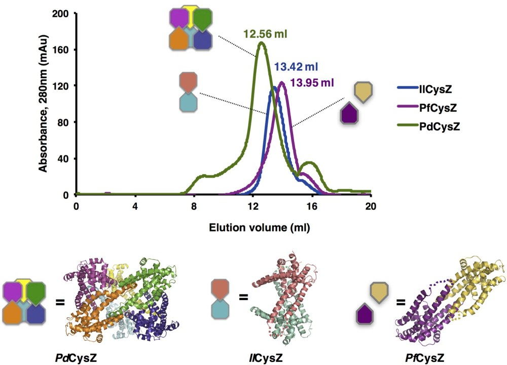 medium resolution of size exclusion chromatography of cysz shows a mono disperse elution profile for each of the three species purified pdcysz pfcyz and ilcysz