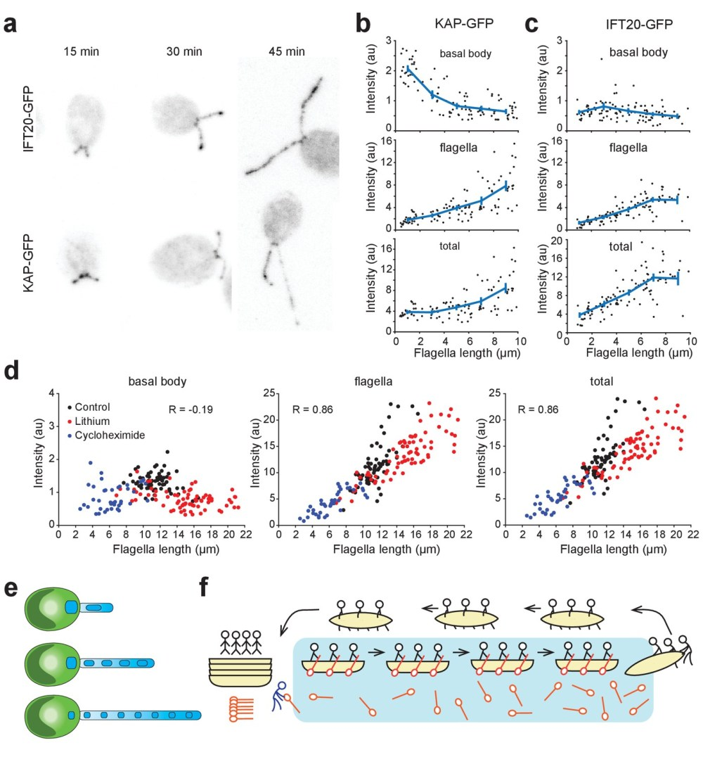 medium resolution of kinesin ii accumulates in flagella and is depleted at the basal body during flagellar growth