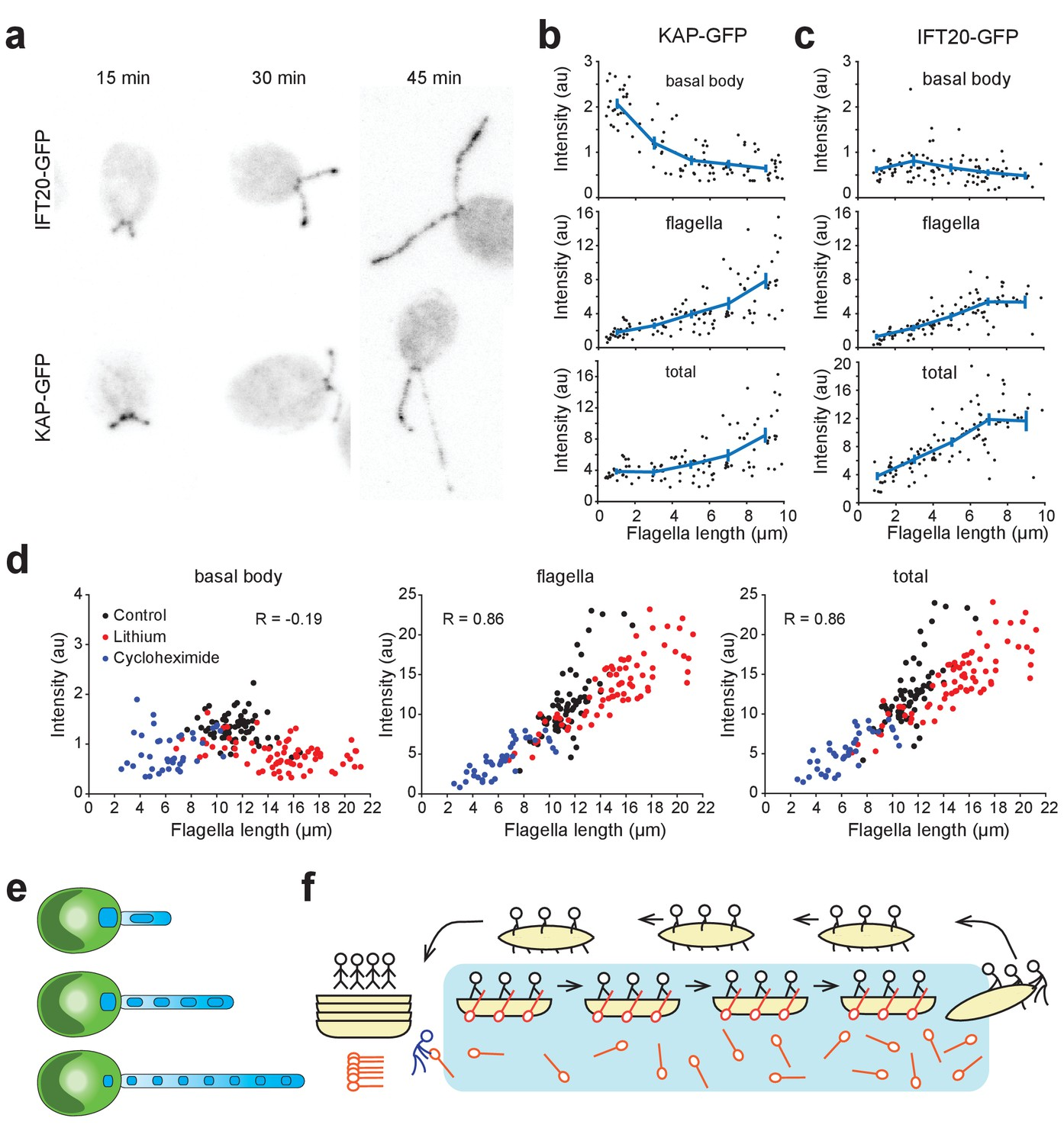 hight resolution of kinesin ii accumulates in flagella and is depleted at the basal body during flagellar growth