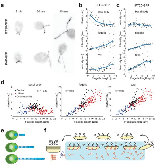 small resolution of kinesin ii accumulates in flagella and is depleted at the basal body during flagellar growth