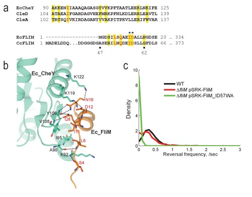 small resolution of the conserved chey binding site of the c crescentus flim switch protein is required for motor reversal