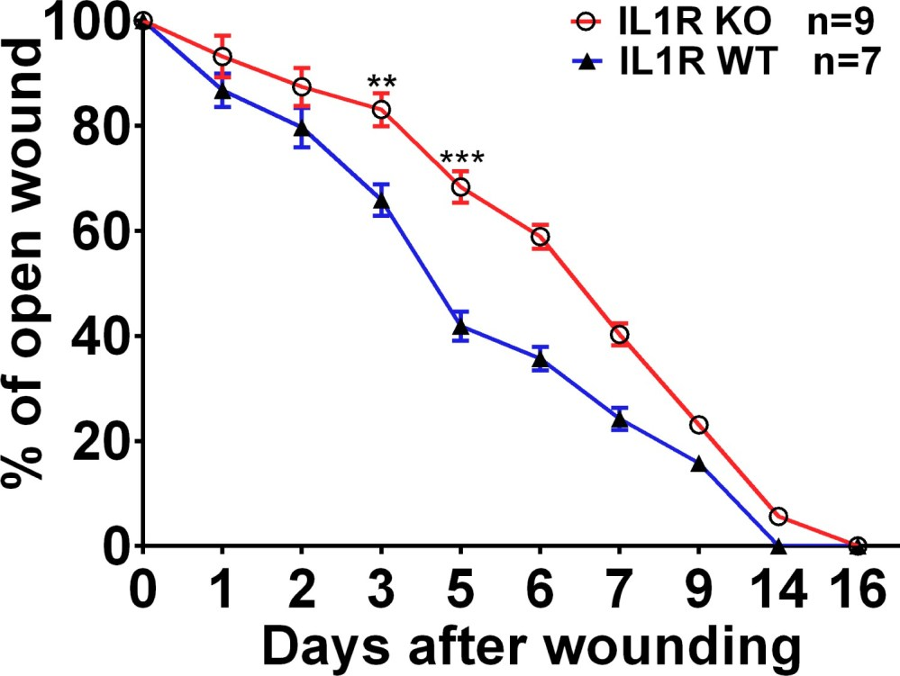 medium resolution of wound closure rate in the skin of wt and il1r ko mice