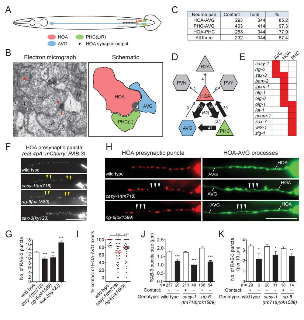 medium resolution of cell adhesion protein genes casy 1 and rig 6 are required for axon fasciculation