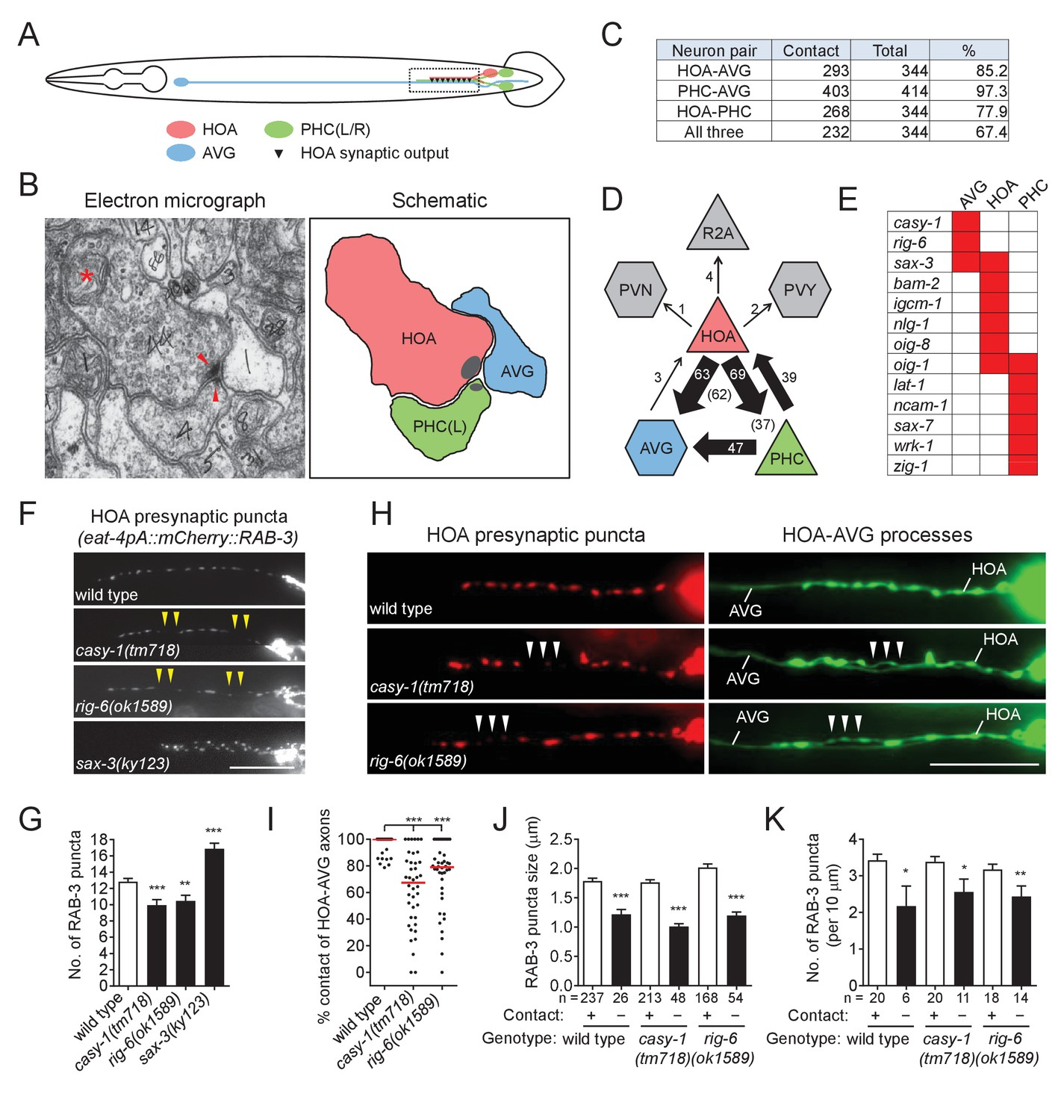 hight resolution of cell adhesion protein genes casy 1 and rig 6 are required for axon fasciculation