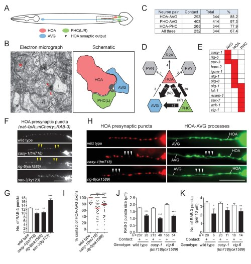 small resolution of cell adhesion protein genes casy 1 and rig 6 are required for axon fasciculation