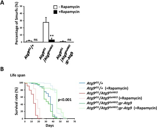 small resolution of rapamycin treatment rescues the intestinal barrier dysfunction of atg9 mutants