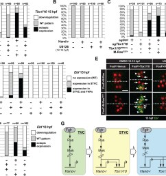 m ras mapk driven feed forward subcircuits control the successive activations of hand r tbx1 10 and ebf  [ 1500 x 1147 Pixel ]
