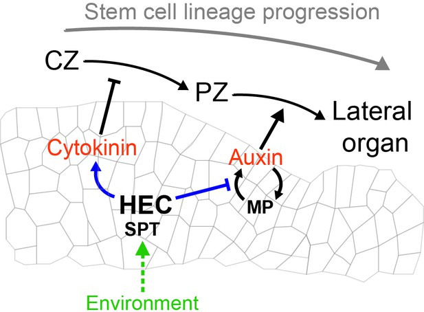 Control of plant cell fate transitions by transcriptional