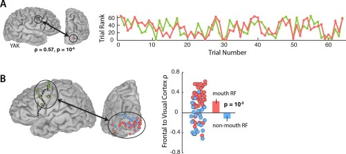 small resolution of functional connectivity with the frontal cortex