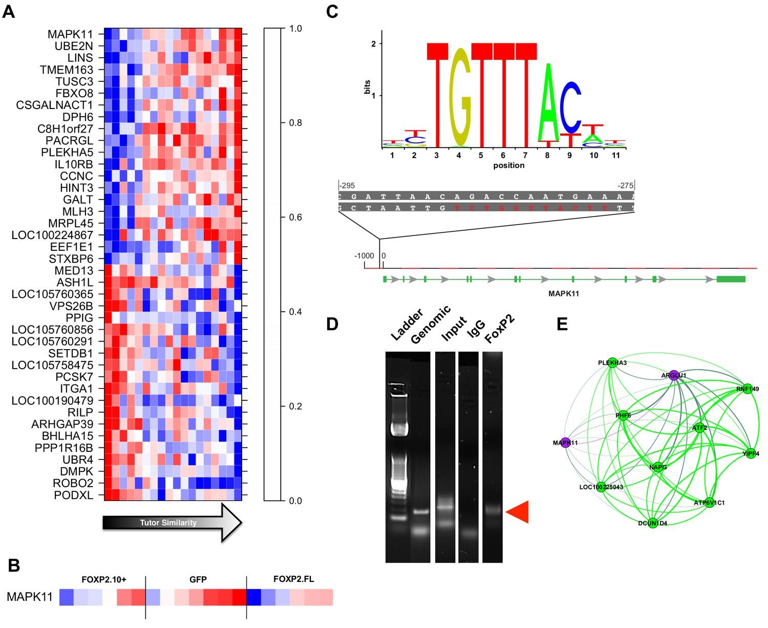 hight resolution of gene significance and network position implicate mapk11 as a molecular entry point to vocal learning mechanisms