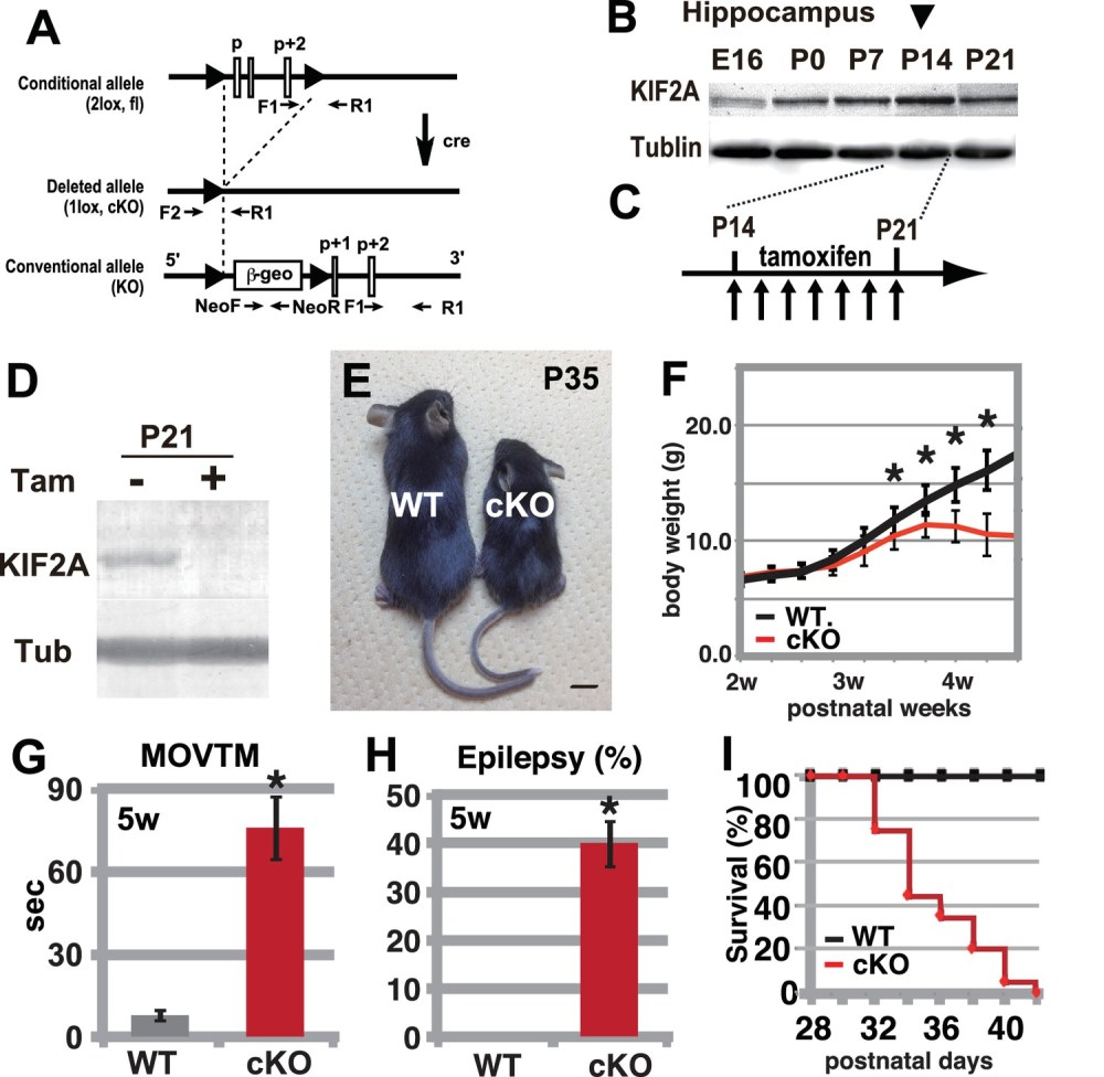 medium resolution of hyperactivity severe epilepsy and eventual fatality in 3w kif2a cko mice