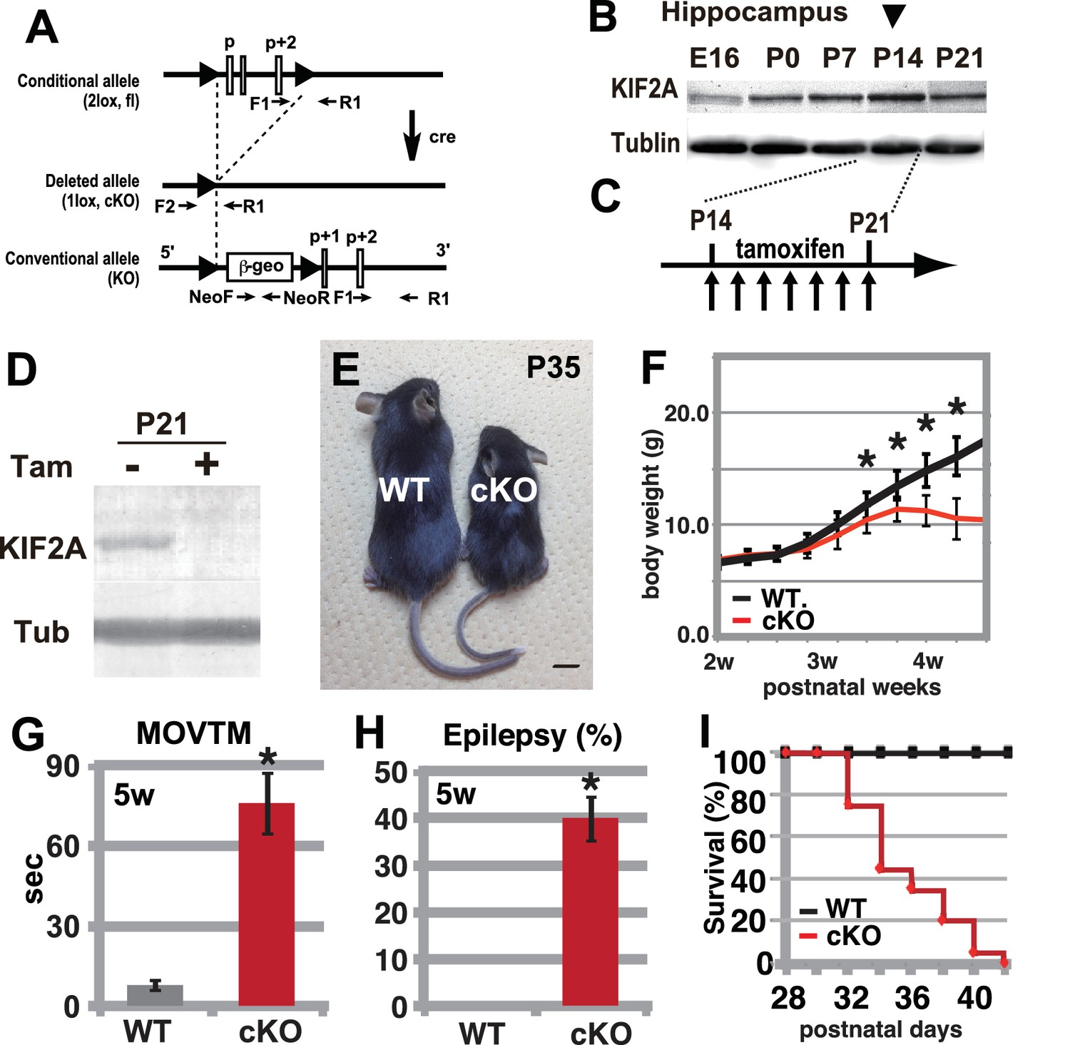 hight resolution of hyperactivity severe epilepsy and eventual fatality in 3w kif2a cko mice