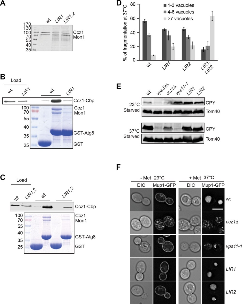 medium resolution of lir motifs in ccz1 are required for atg8 binding but not for the endocytic pathway