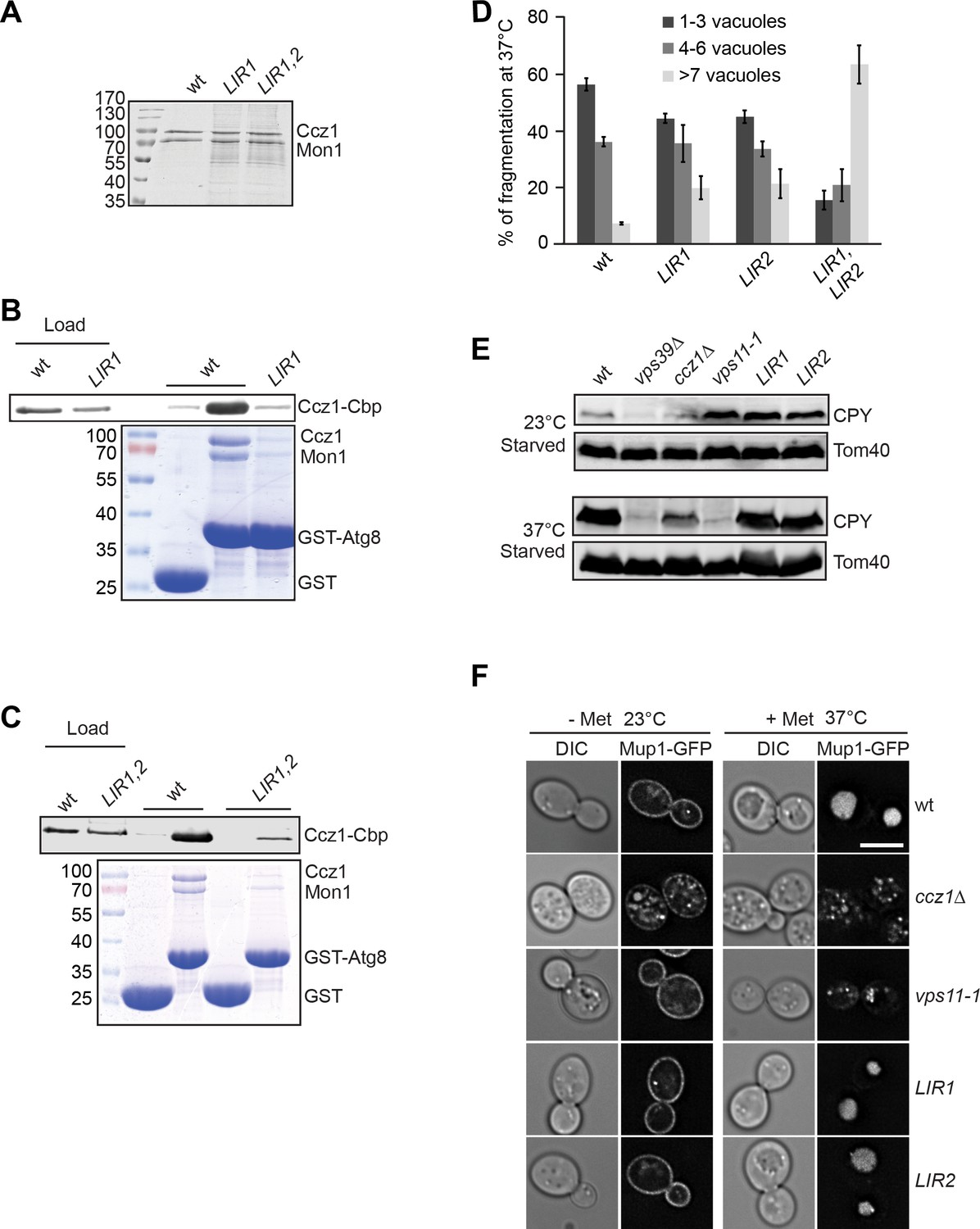 hight resolution of lir motifs in ccz1 are required for atg8 binding but not for the endocytic pathway