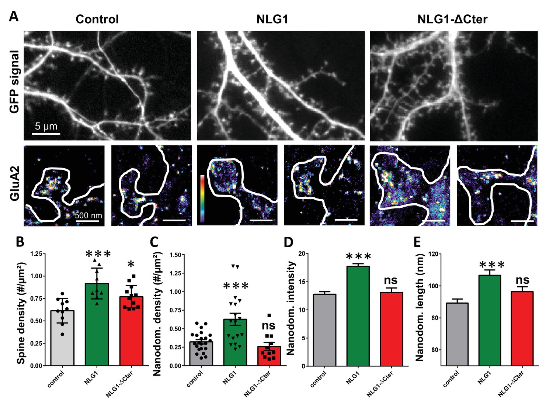 Prepost synaptic alignment through neuroligin1 tunes