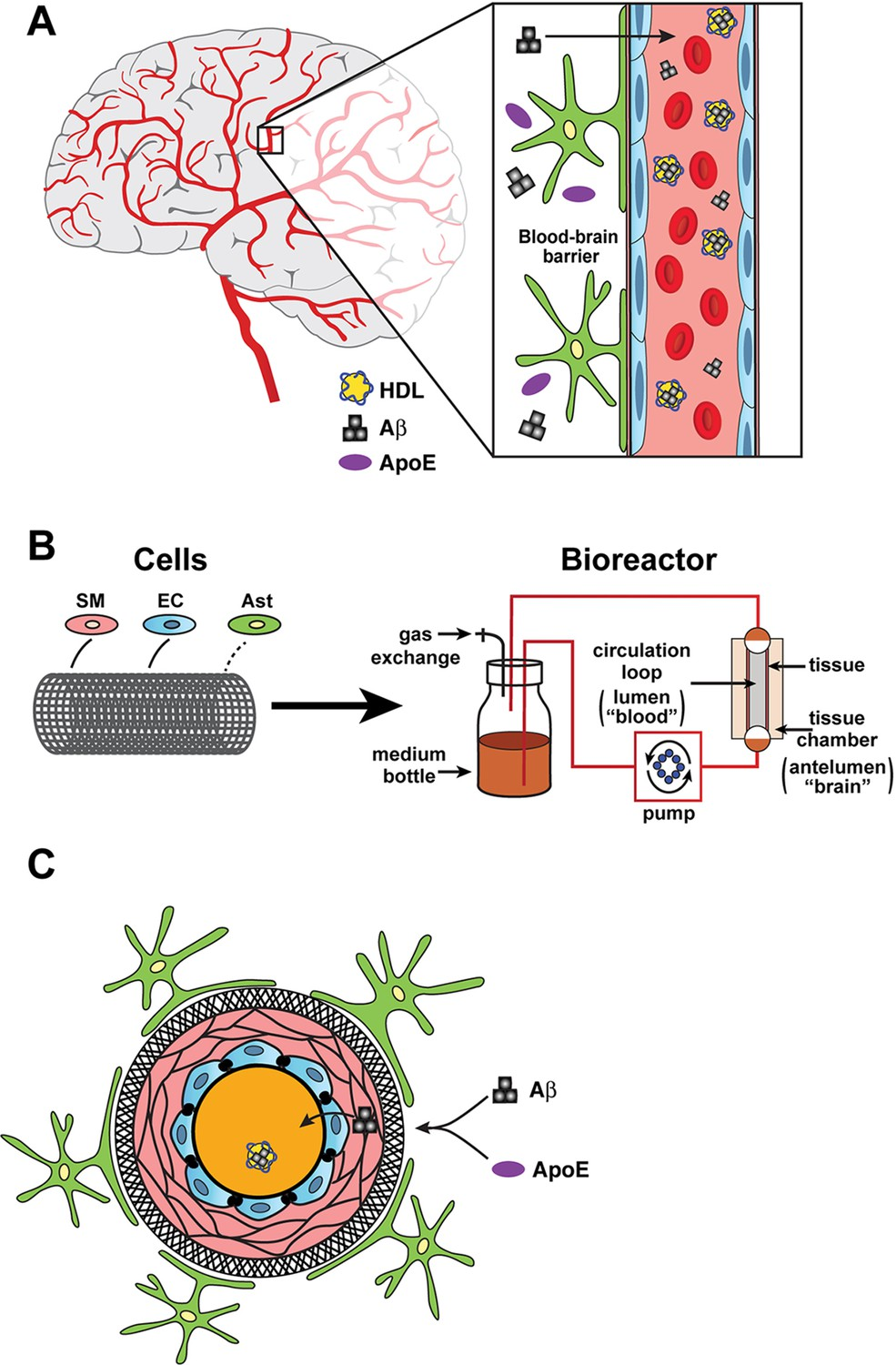Tissue Engineering Building A Better Blood Brain Barrier