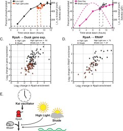 changes in environmental light intensity regulate rpaa p dna binding activity and rnap recruitment to control dusk gene expression downstream of clock  [ 1222 x 1500 Pixel ]