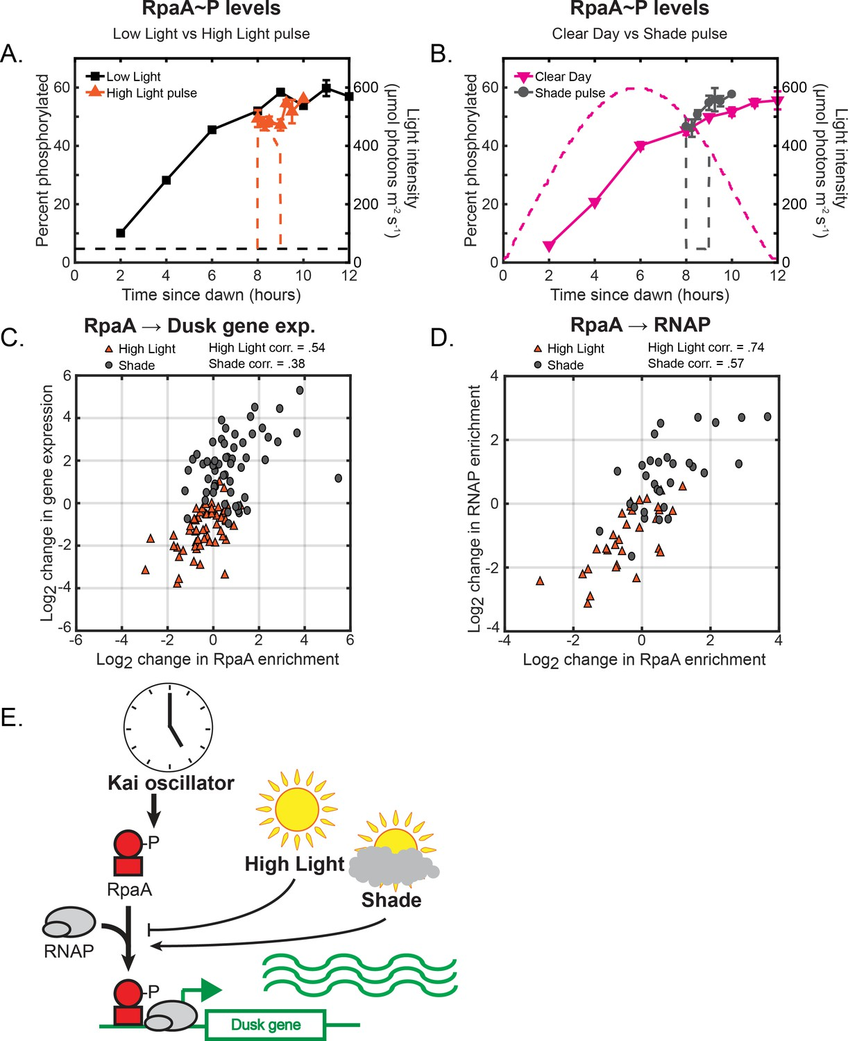 hight resolution of changes in environmental light intensity regulate rpaa p dna binding activity and rnap recruitment to control dusk gene expression downstream of clock