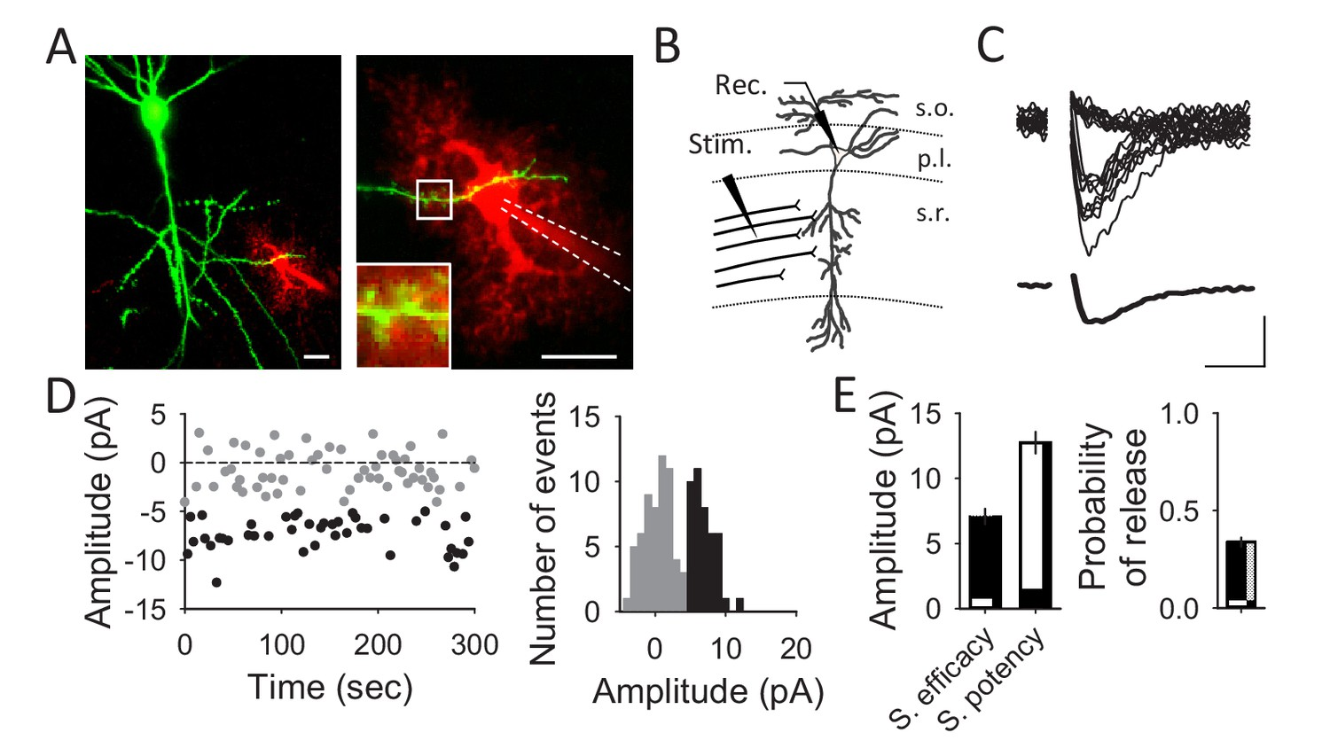 hight resolution of unitary ca3 ca1 synapse recordings from hippocampal pyramidal neurons