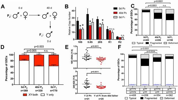Transgenerational dynamics of rDNA copy number in