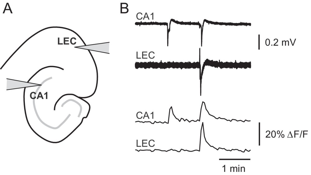 medium resolution of picrotoxin triggered changes in gcamp6f fluorescence intensity correspond to stereotypical epileptiform field potentials