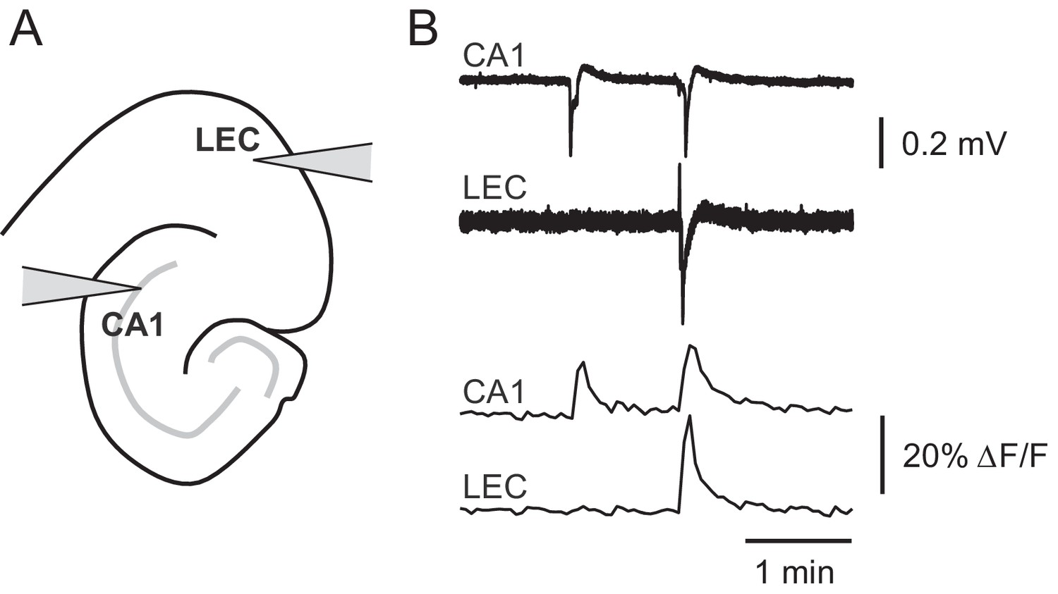 hight resolution of picrotoxin triggered changes in gcamp6f fluorescence intensity correspond to stereotypical epileptiform field potentials