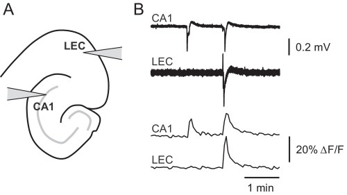 small resolution of picrotoxin triggered changes in gcamp6f fluorescence intensity correspond to stereotypical epileptiform field potentials