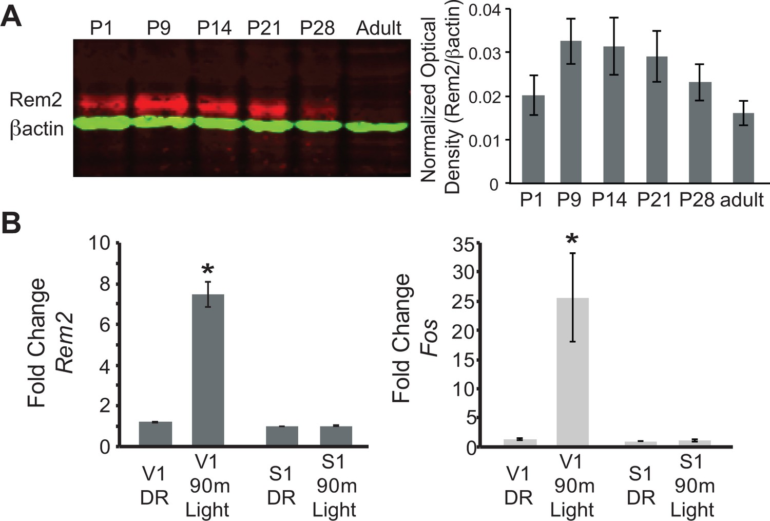 hight resolution of rem2 expression is developmentally regulated and activity dependent