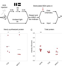 validation of changes in synthesis of eif3a fus and rps17 in response to 4 hr of visual experience  [ 1401 x 1311 Pixel ]