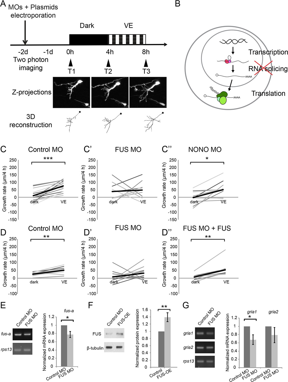 hight resolution of newly synthesized fus is required for visual experience dependent structural plasticity