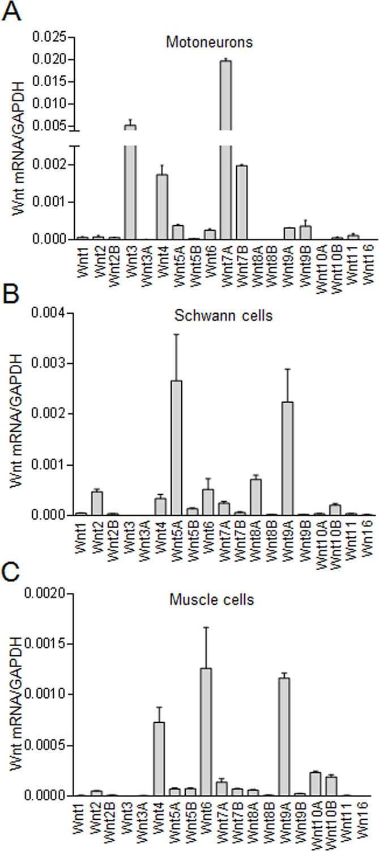 Motoneuron Wnts Regulate Neuromuscular Junction