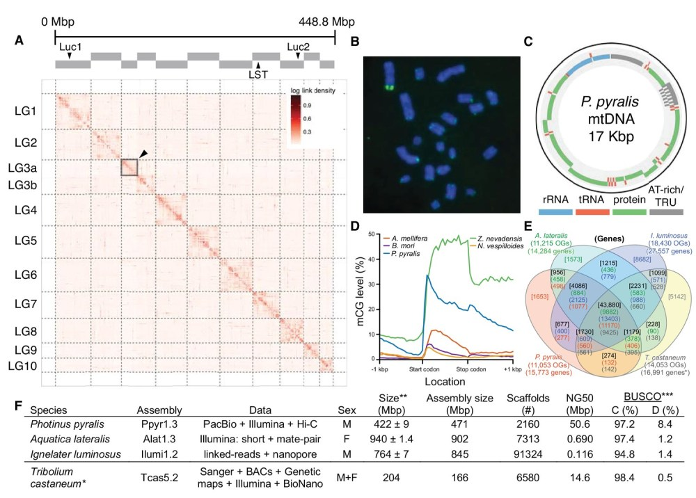 medium resolution of photinus pyralis genome assembly and analysis