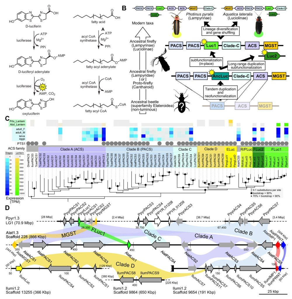 medium resolution of a genomic view of luciferase evolution