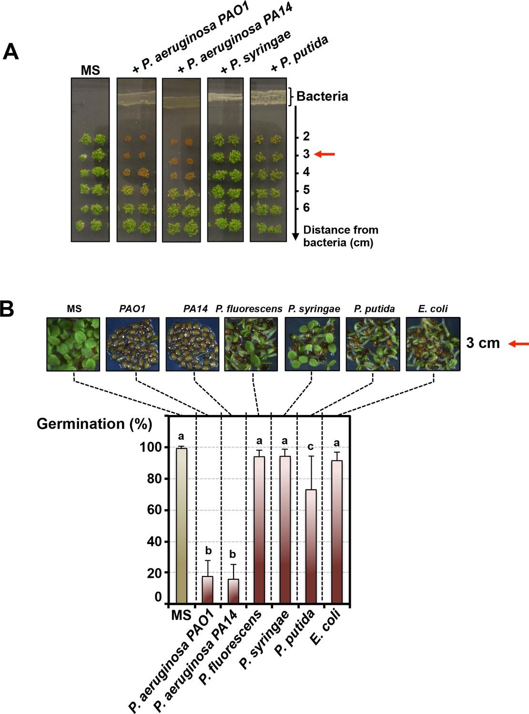 hight resolution of pseudomonas aeruginosa releases a germination repressive activity gra